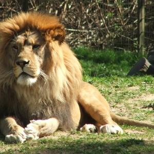 Rostock_Zoo_Lion_2007